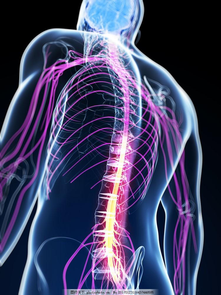 脊椎神经组织图片