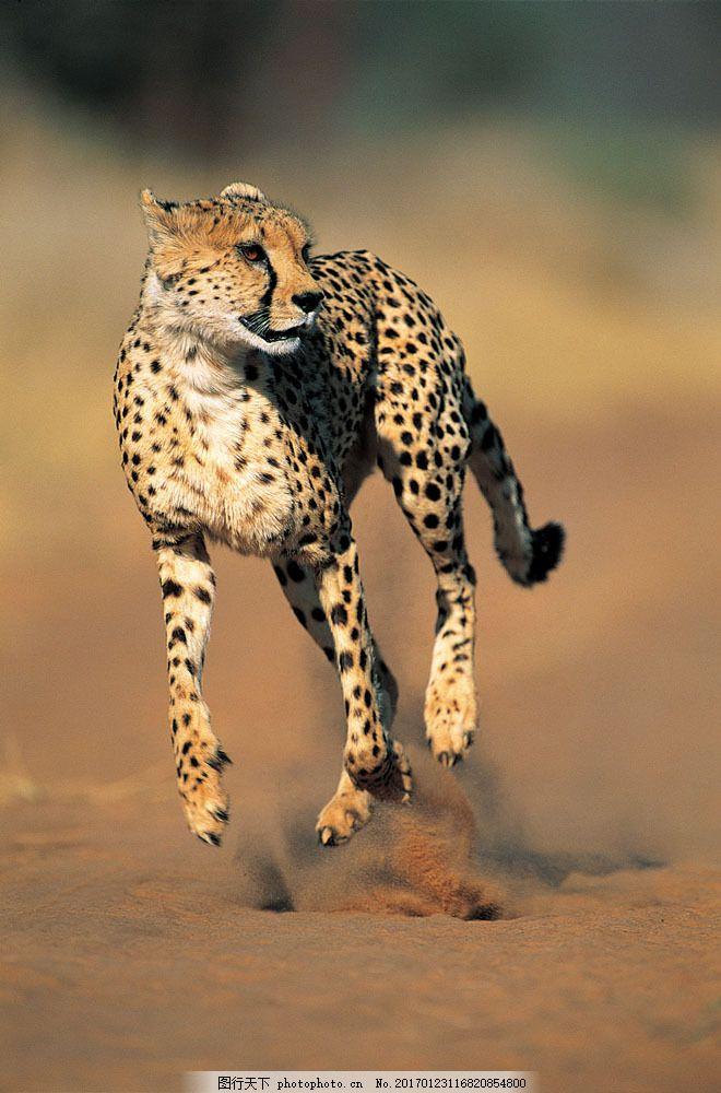奔跑的猎豹图片素材 野生动物 动物世界 哺乳动物 奔跑 金钱豹 猎豹