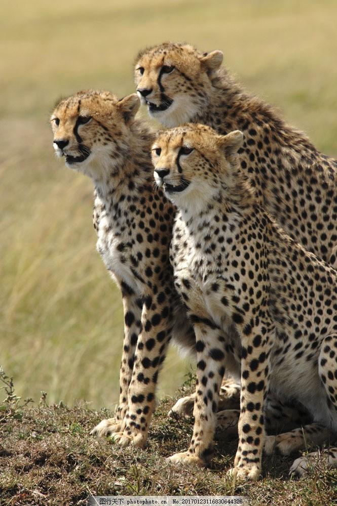三只站立的豹子 三只站立的豹子图片素材 动物 猫科动物 速度 远眺