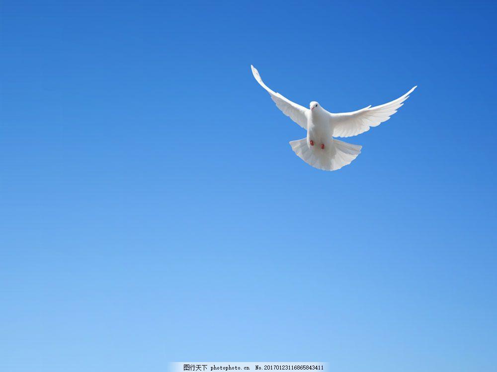 蓝天飞翔的鸽子图片素材 白鸽 鸽子 和平鸽 飞翔的白鸽 蓝天 天空飞翔