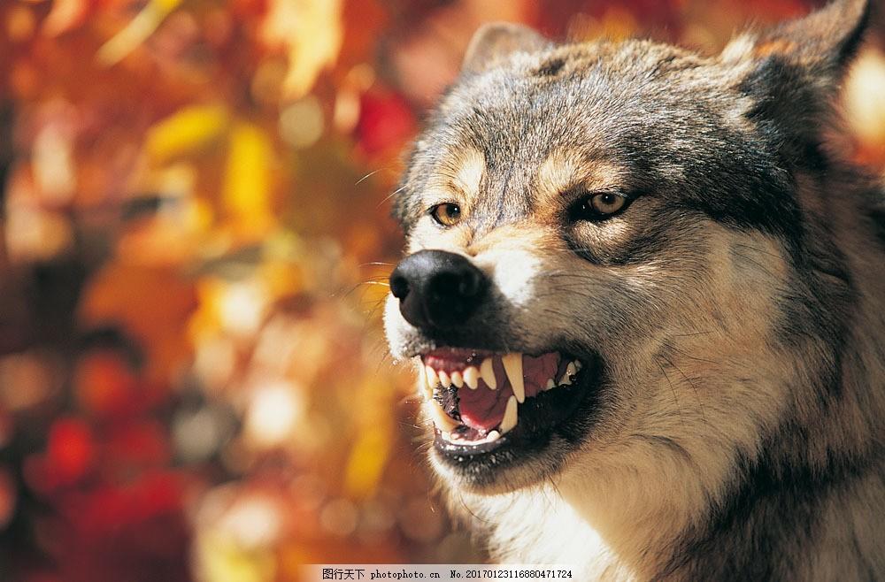 凶猛的狼 凶猛的狼图片素材 野生动物 动物世界 哺乳动物 摄影图