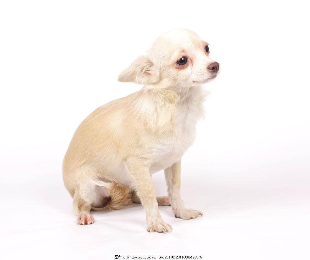 宠物狗摄影 宠物狗摄影图片素材 动物 萌 可爱 陆地动物 狗狗图片