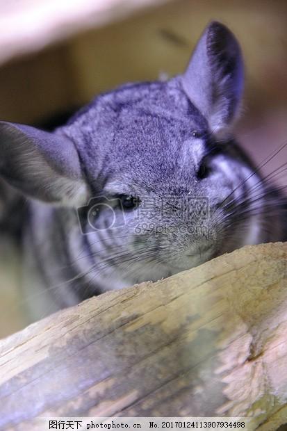 龙猫 动物 宠物 啮齿类动物 小狗 头发 耳朵     灰色 jpg