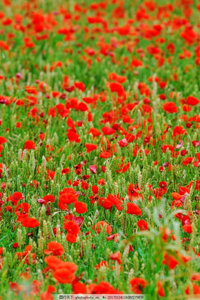 红色花朵的海洋 红色花朵的海洋图片素材 高清图片 竖构图 风景