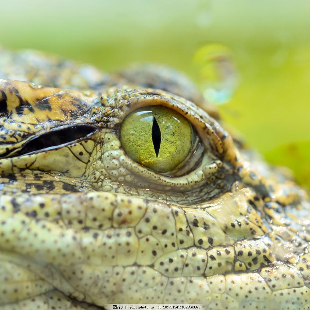 鳄鱼眼睛特写 鳄鱼眼睛特写图片素材 野生动物 爬行动物 动物世界