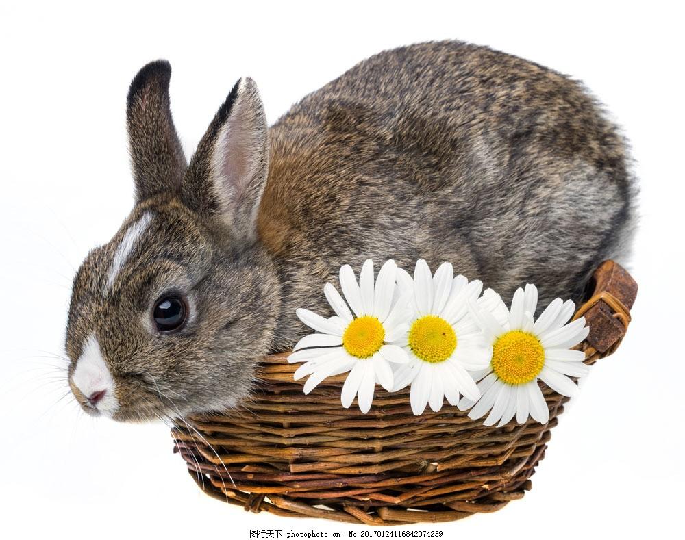 兔子与鲜花图片素材 篮子里的兔子 小兔子 可爱兔子 可爱动物 鲜花