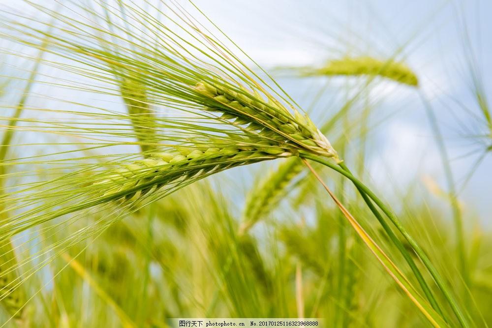设计图库 高清素材 自然风景  金色麦子图片素材 小麦 麦子 麦穗 麦田