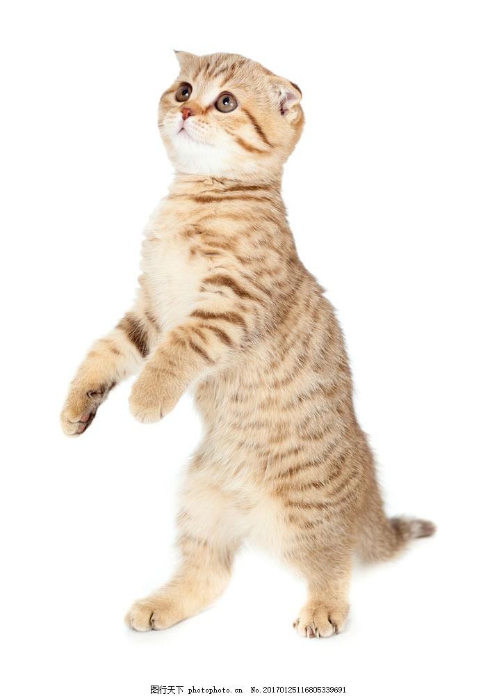 站立的猫图片素材 可爱的小猫咪 可爱 小猫咪 站立的猫 站姿 宠物 逗