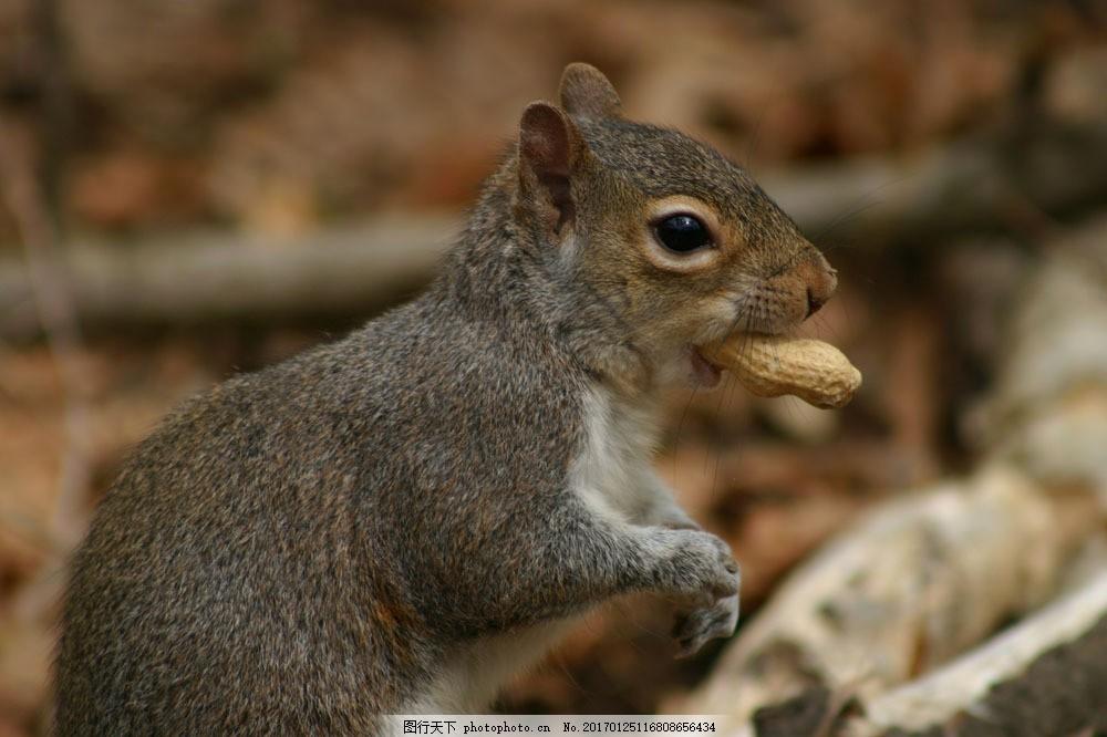 正在吃花生的小松鼠 正在吃花生的小松鼠图片素材 鼠科 哺乳动物