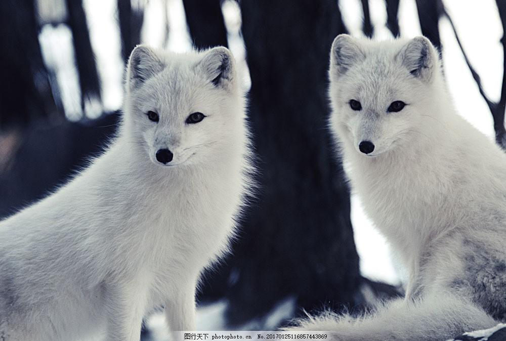 小白狐摄影 小白狐摄影图片素材 狐狸 野生动物 动物摄影 动物世界