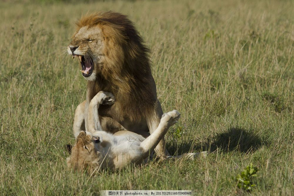 狮子 狮子图片素材 非洲动物 野生动物 动物世界 非洲草原 雄狮