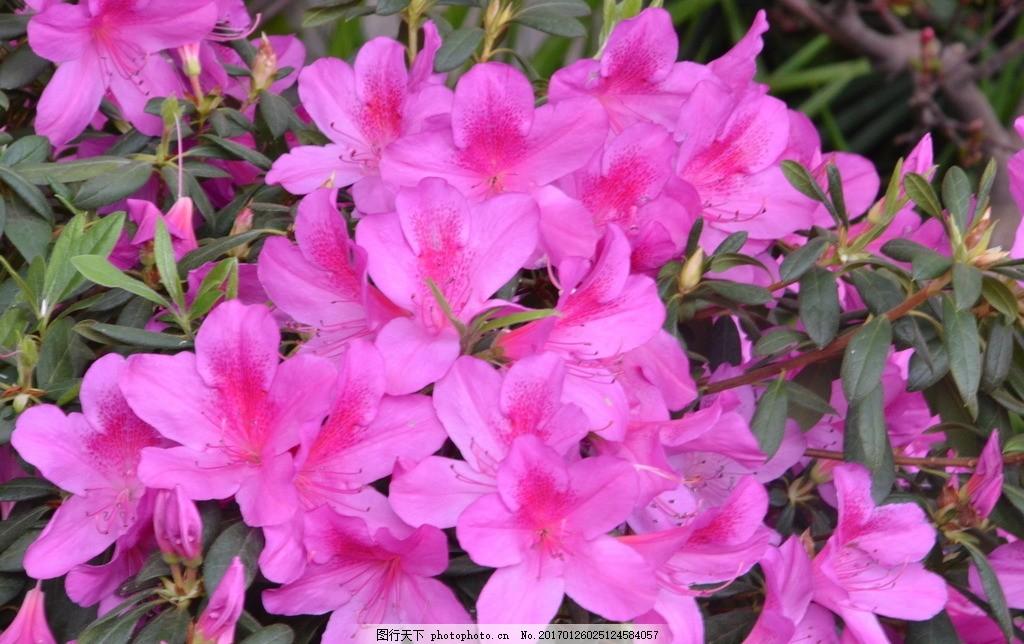 杜鹃花 山踯躅 山石榴 映山红 花卉 花儿 植物 园林绿化 绿化景观