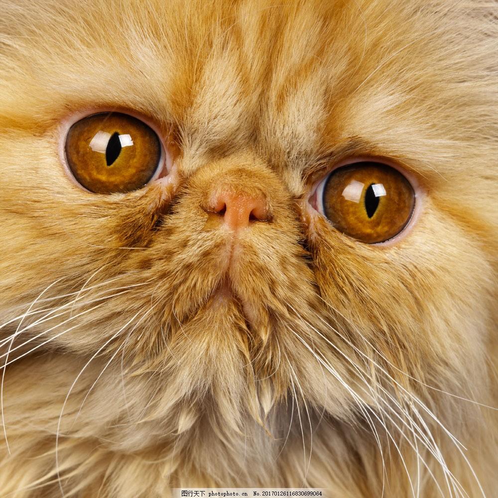 可爱波斯猫 可爱波斯猫图片素材 小猫 猫咪 萌 宠物猫 动物世界