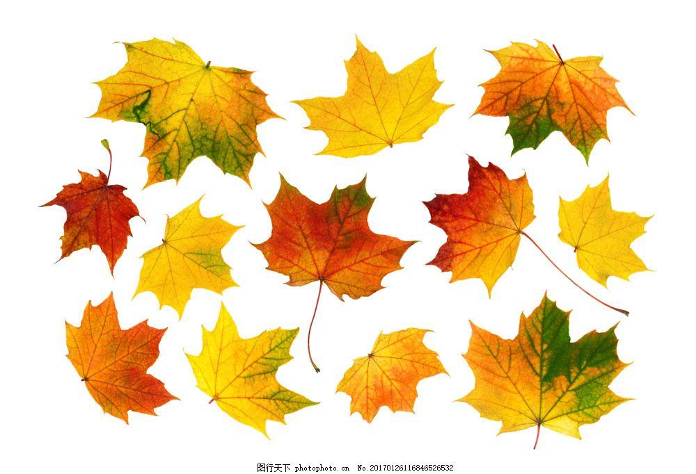 梧桐叶摄影 梧桐叶摄影图片素材 梧桐叶摄影图片下载 秋天树叶 黄叶