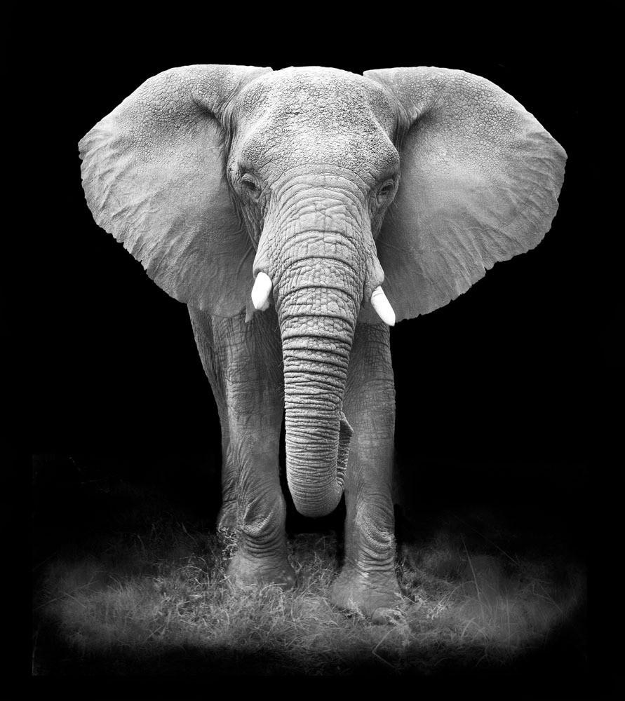 大象黑白照片图片素材 大象 野生象 野生动物 动物摄影 动物世界 陆