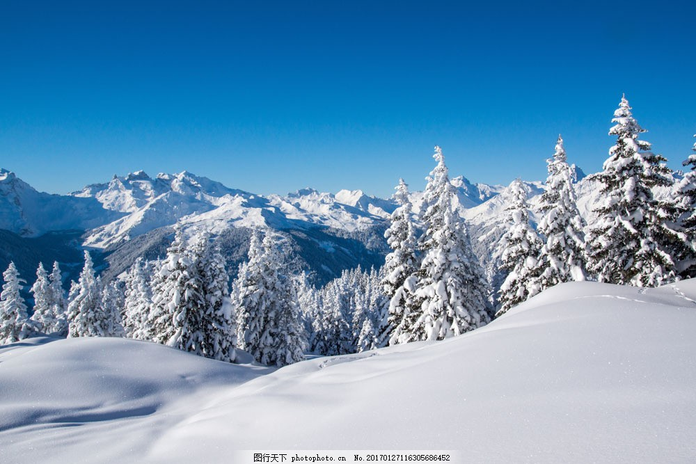 雪地与松树图片