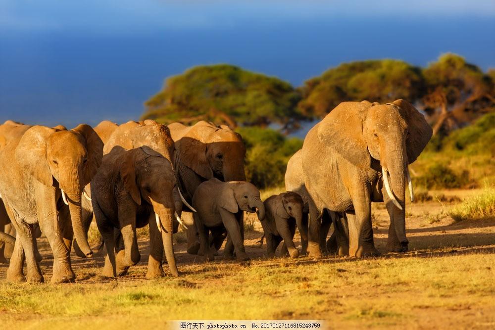 森林里的一群象 森林里的一群象图片素材 大象 野象 动物 陆地动物