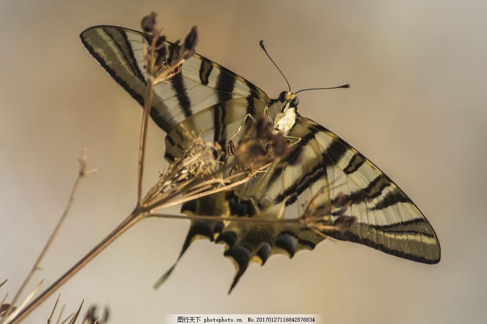 蝴蝶摄影图片素材 飞蛾 蝴蝶 动物摄影 动物世界 动物昆虫 昆虫世界