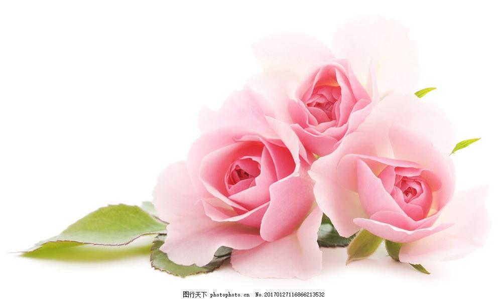 粉色玫瑰花 粉色玫瑰花图片素材 花瓣 植物花朵 美丽鲜花 漂亮花朵