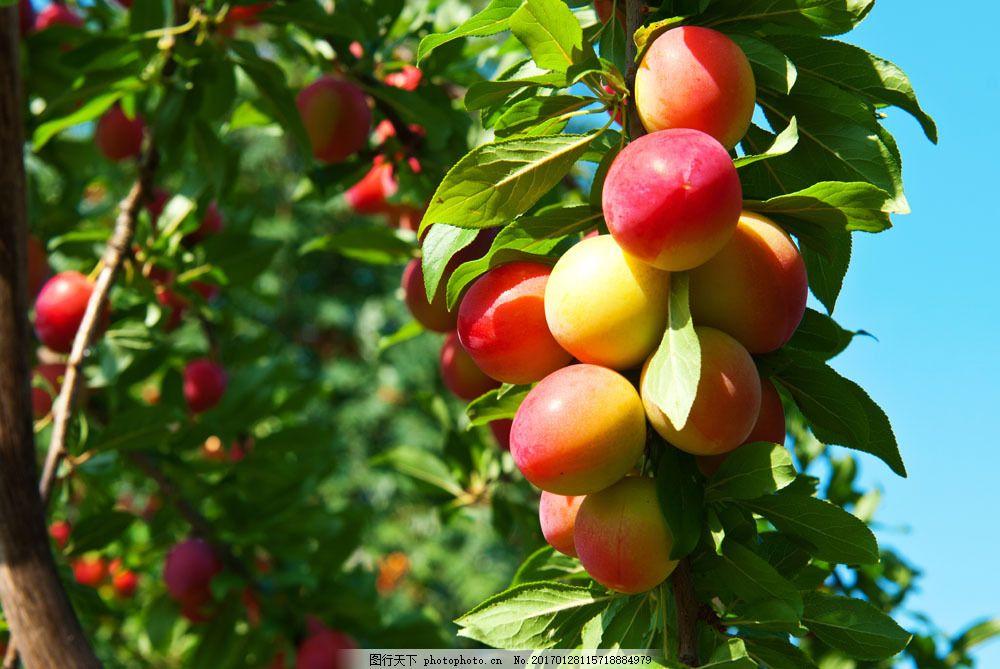 新鲜桃子 新鲜桃子图片素材 果园 果树 新鲜水果 桃子树 蔬菜图片