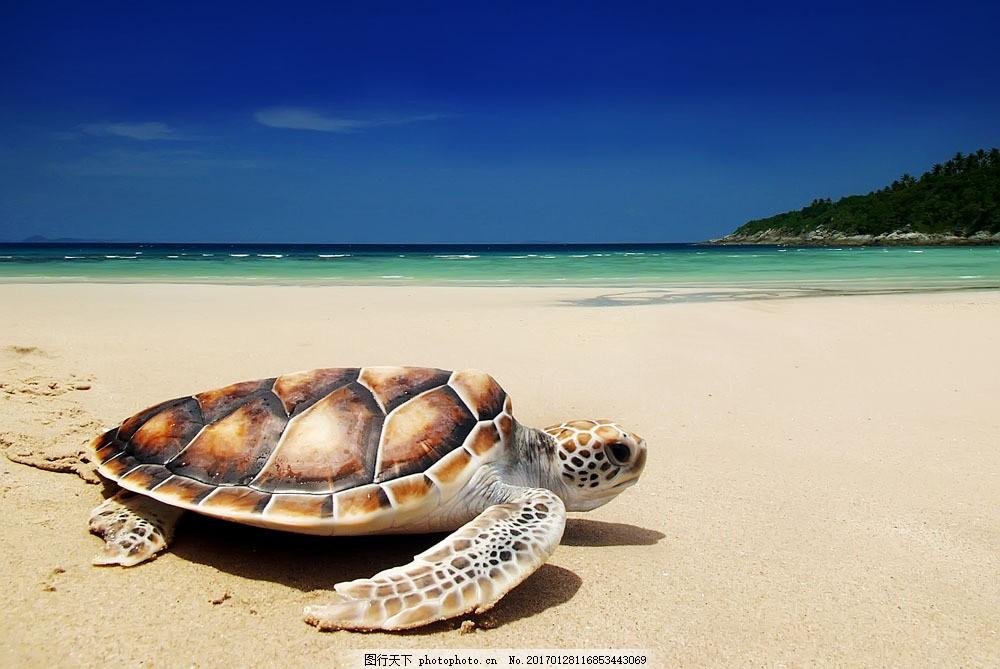 沙滩的乌龟 沙滩的乌龟图片素材 海龟 水中生物 动物 野生动物