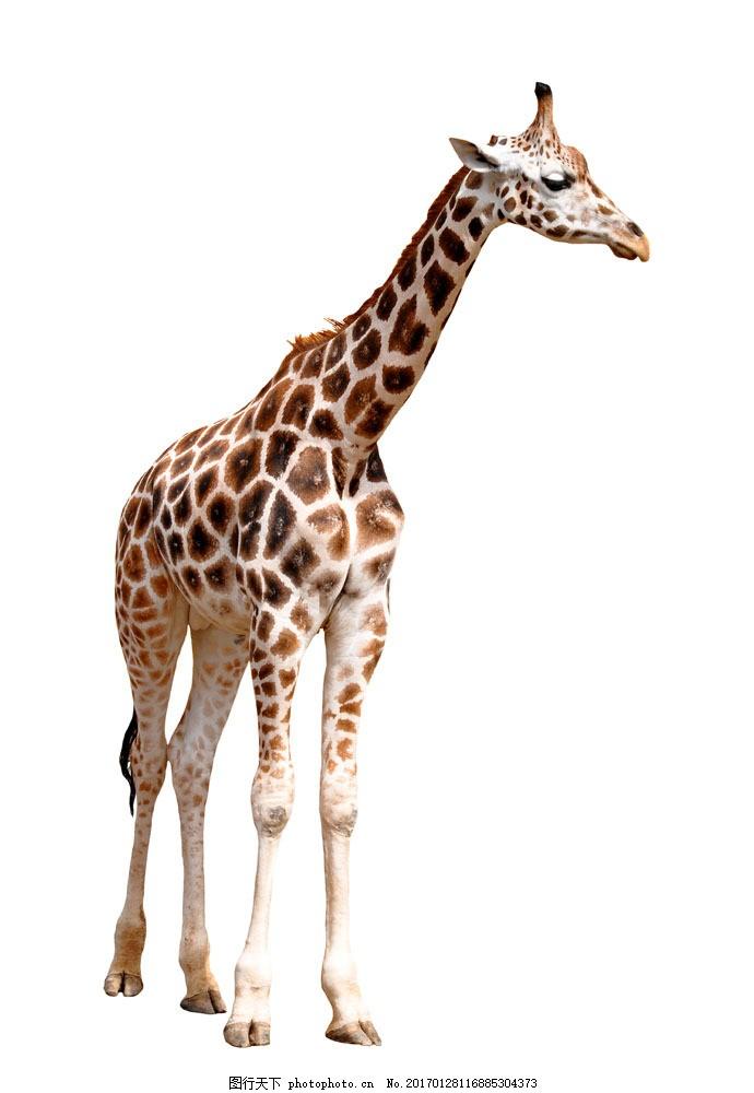 一只长颈鹿 一只长颈鹿图片素材 野生动物 动物世界 摄影图 陆地动物