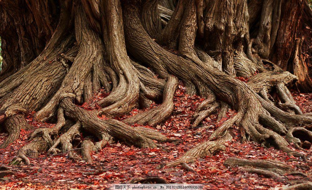 树根摄影 树根摄影图片素材 大树 落叶 树木风景 美丽景色 美景