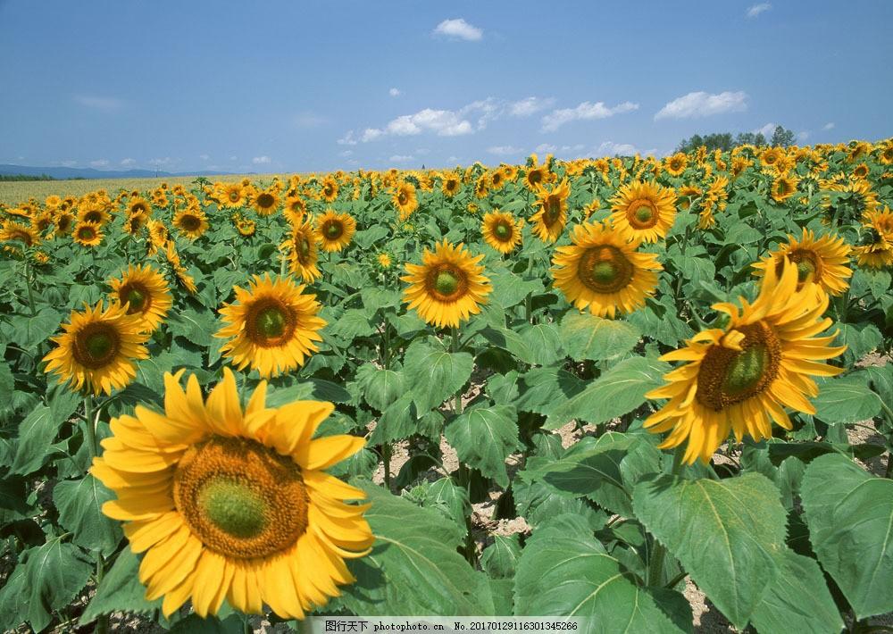 向日葵图片素材 自然 风景 户外 美境 鲜花 向日葵 花园 天空 山水