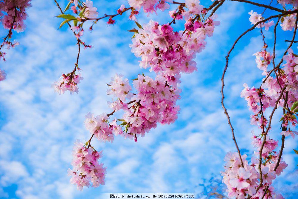 春天里的桃花图片图片素材 春天 桃花 蓝天 白云 粉色 夏日 山水风景