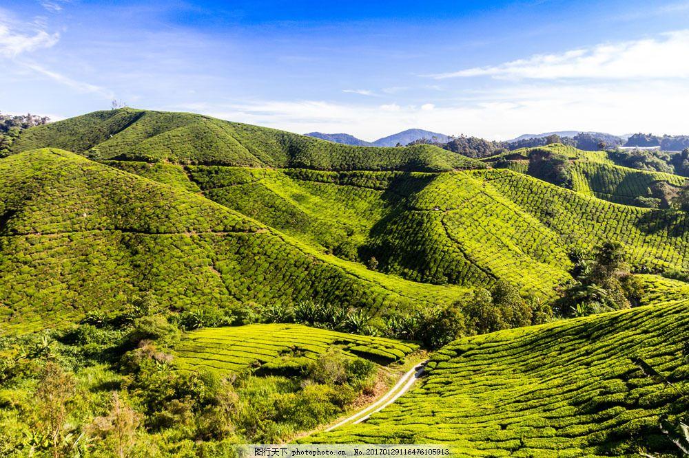 美丽茶田风景 美丽茶田风景图片素材 茶园 茶山 茶叶 绿茶 自然风景