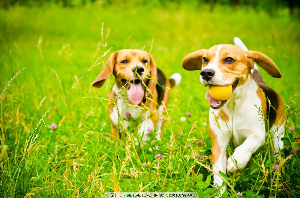 草地上奔跑的小狗图片素材 狗 可爱小狗 宠物 动物 野生动物 动物世界