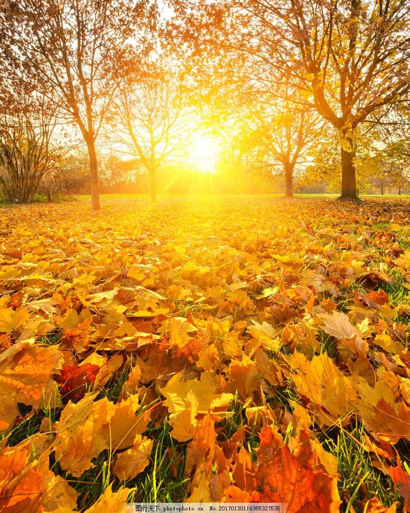 枫树林 秋天枫叶 秋天树叶 秋季 枫叶 落叶 花草树木 秋天美丽风景