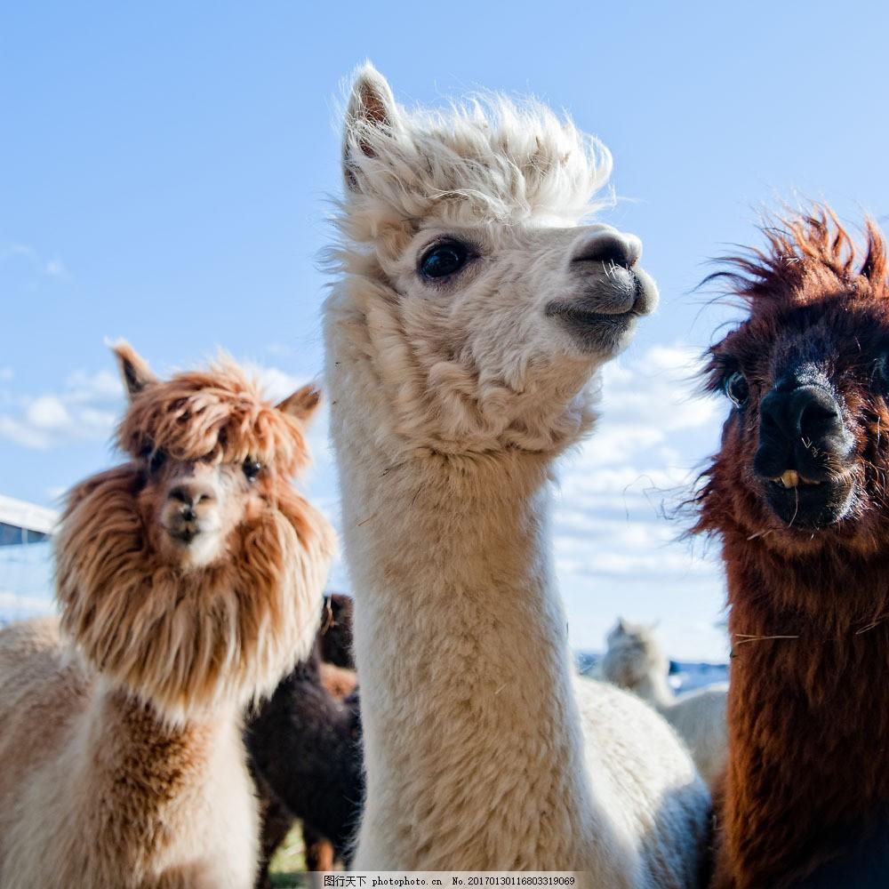 各种颜色的羊驼图片素材 各种颜色 羊驼 农场 养殖 动物 陆地动物
