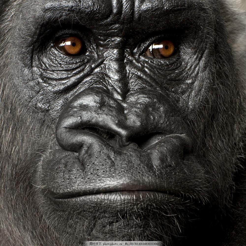 猩猩面部 猩猩面部图片素材 黑猩猩 大猩猩 动物世界 野生动物