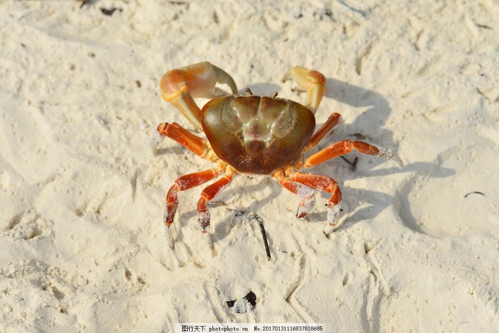 沙滩上的螃蟹 沙滩上的螃蟹图片素材 海滩 海洋生物 海底动物 生物