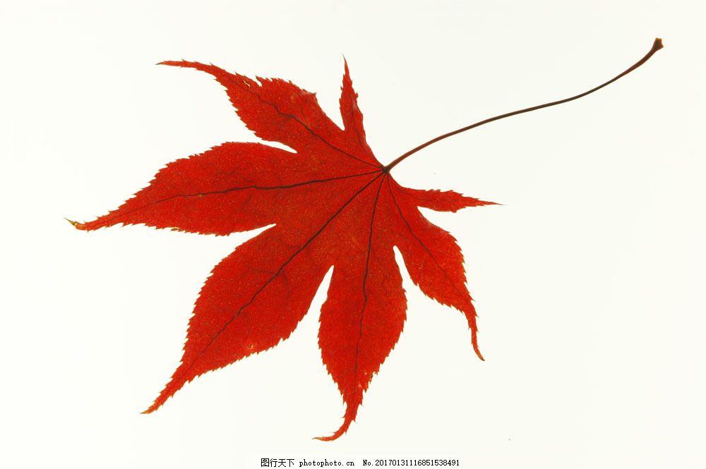 红色枫叶图片 红色枫叶图片图片素材 秋天叶子 秋天风景 秋景 秋天