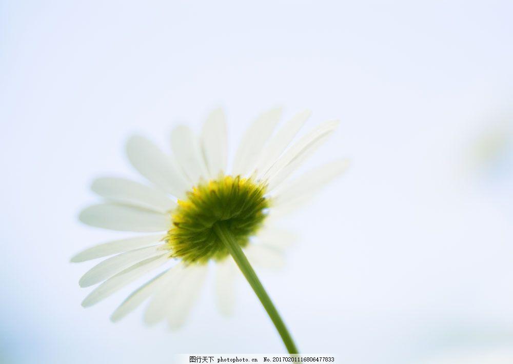 菊花 雏菊 鲜花 花朵 绿色 清新 清爽 鲜花背景 背景素材 美丽风景
