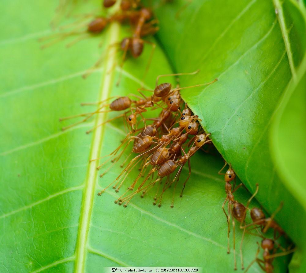 一起推树叶的蚂蚁图片