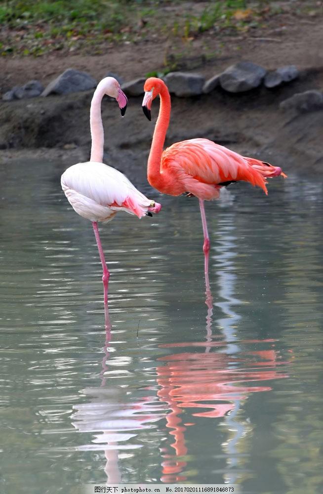 火烈鸟 火烈鸟图片素材 鸟类 野生动物 动物世界 湖泊 倒影 水中生物