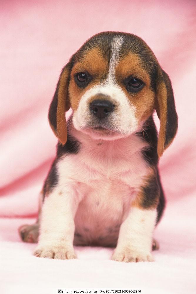 小狗 狗狗 宠物 宠物狗 萌 憨 可爱 超萌 卖萌 可爱动物 陆地动物