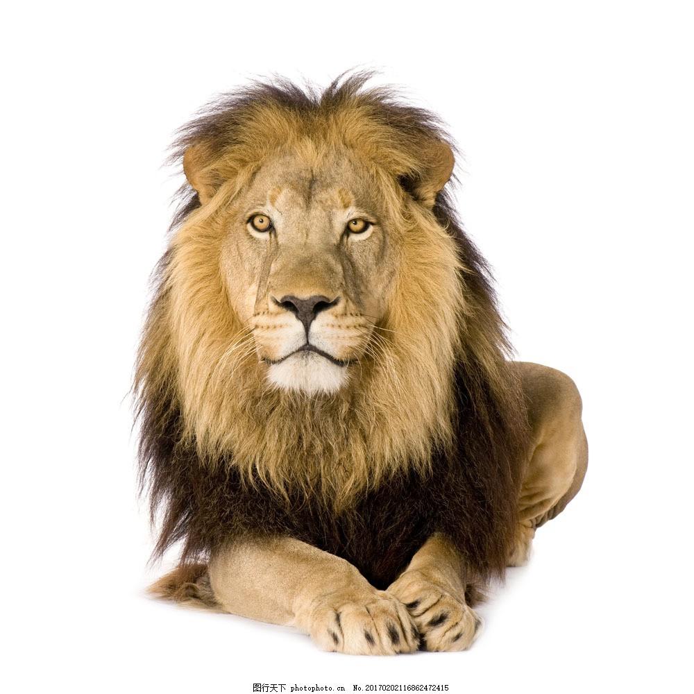 雄狮摄影 雄狮摄影图片素材 狮子 动物世界 野生动物 陆地动物