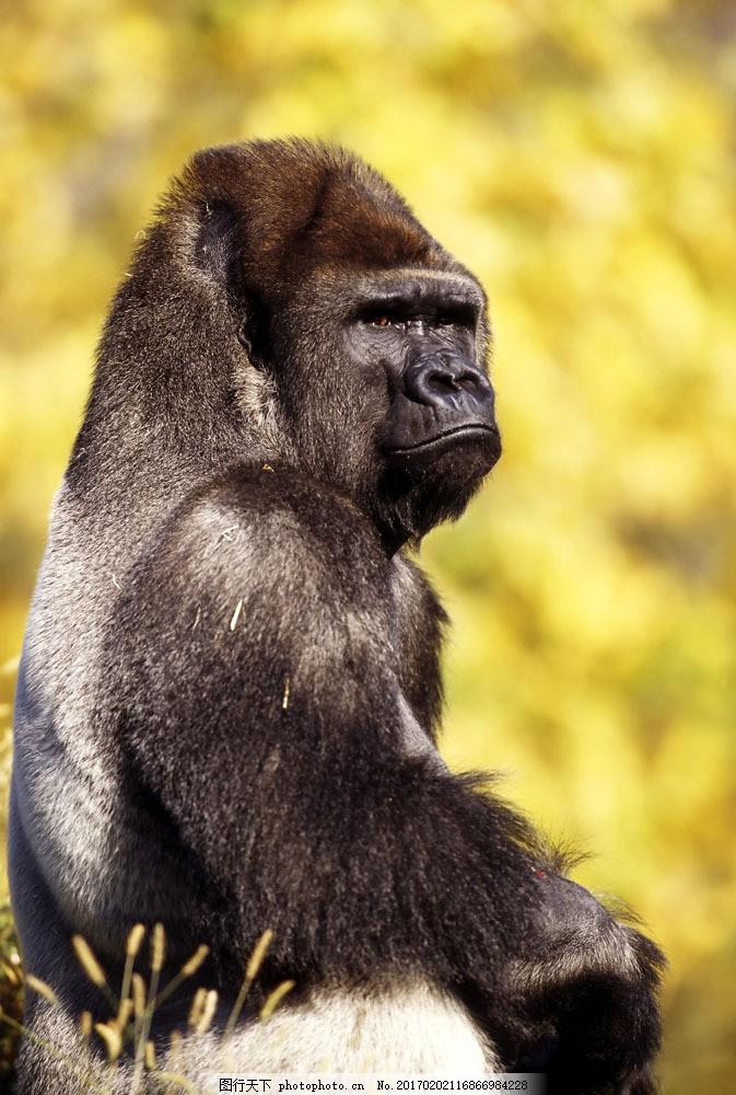 黑猩猩 黑猩猩图片素材 大猩猩 野生动物 动物世界 摄影图 陆地动物