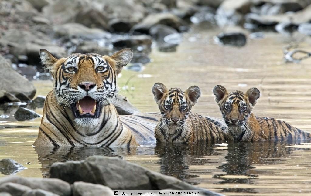 一级保护动物 凶猛 动物园 动物科普 野生老虎 森林大王 老虎壁纸