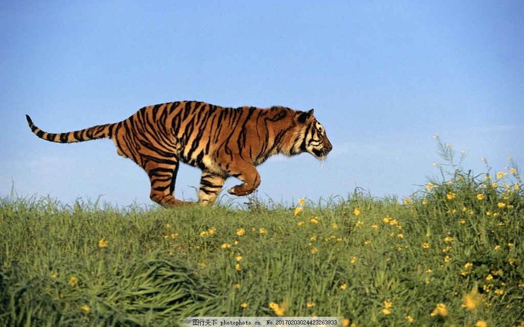 奔跑的老虎 一级保护动物 凶猛 动物园 动物科普 野生老虎 森林大王
