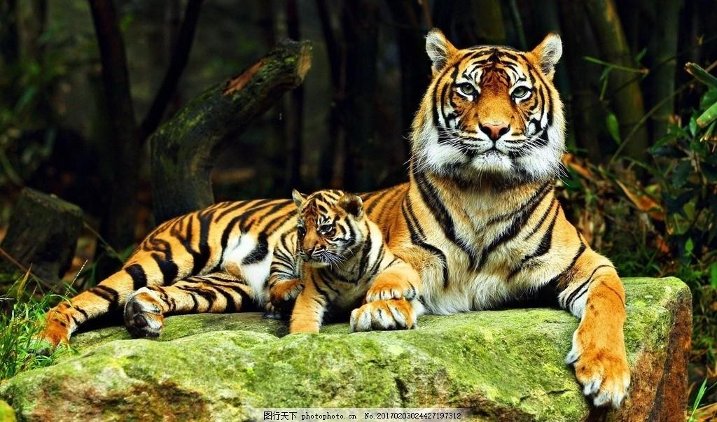 老虎母子 一级保护动物 凶猛 动物园 动物科普 野生老虎 森林大王