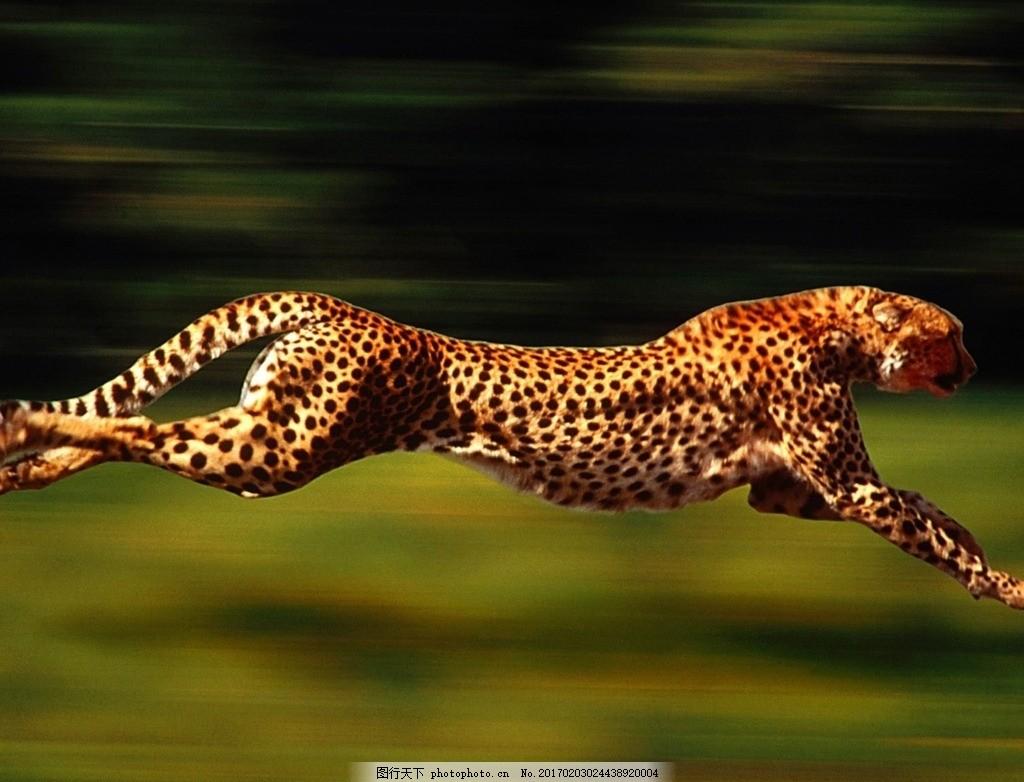豹 豹子 壁纸 动物 桌面 蜥 蜥蜴 1024_782