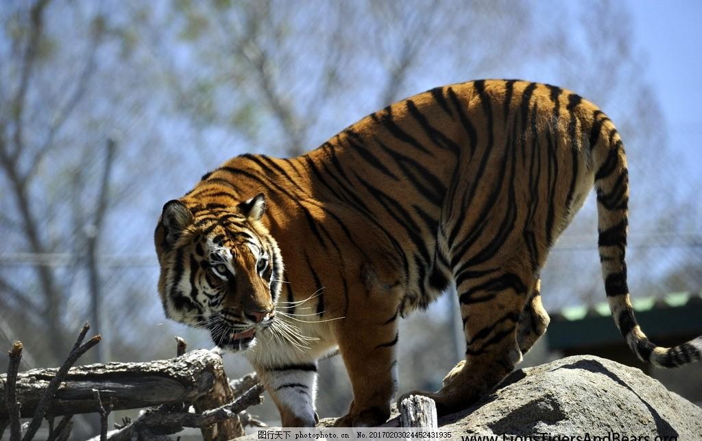 老虎 一级保护动物 凶猛 动物园 动物科普 野生老虎 森林大王
