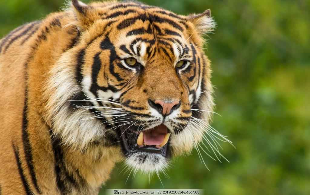 老虎 特写 野外 山林 动物 摄影