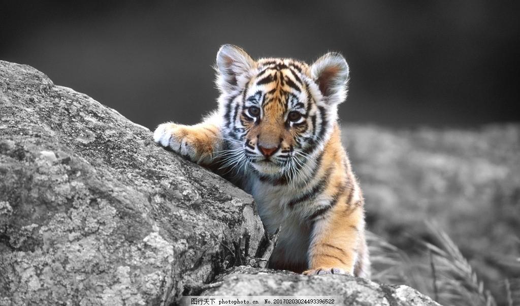 凶猛 动物园 动物科普 野生老虎 森林大王 老虎壁纸 野生动物摄影