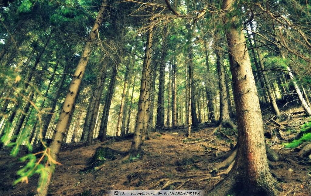 松柏 柏树 树干 枝干 树叶 枝叶 植物林 植被 植物 树林风景 树木树叶